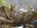 最新大闸蟹养殖场价格*昆明安宁市温泉镇甸中农庄