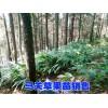 马关草果苗#产地草果苗#贵州草果苗销售价格