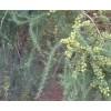 优质供应种天冬种苗#云南优质天冬种苗13888135446