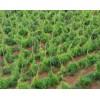 云南大量供应新鲜生天冬*优质天门冬种子种苗供应商信息