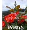 云南玫瑰花(品种)价格/云南玫瑰花基地苗木销售信息