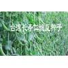 大理豌豆种子批发[大理豌豆种子价格]大理豌豆种子就选长寿仁豌豆