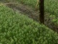 腾冲红豆杉小苗#腾冲红豆杉树苗#腾冲红豆杉种苗销售