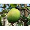 白花酸木瓜→云南白花酸木瓜价格|白花酸木瓜基地|白花酸木瓜销售