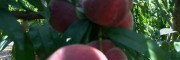 宾川美国加州桃苗(图片)