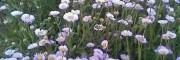 优质灯盏花种子供应商