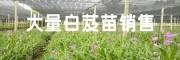 紫花三叉大白芨图片(种苗/成品)
