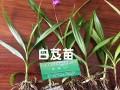 白芨苗&云南紫花三叉大白芨种植成本$哪里有紫花三叉大白芨出售