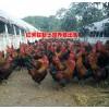 红河土鸡哪里的好?弥勒土鸡纯生态养殖*优质生态土鸡出售