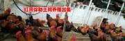 红河生态土鸡 |供应|