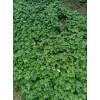 2016直杆草乌种子(种苗)附子及金铁锁种子种苗供应商