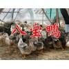 八宝鸭养殖场信息&八宝鸭养殖技术%八宝鸭养殖场价格