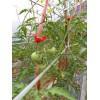 文山西红柿出售&文山西红柿最新报价13887677578