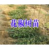花椒树苗品种哪里好?花椒树苗哪里有卖&花椒树苗栽培技术