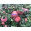 苹果树苗*云南苹果树苗基地直销价格&苹果树苗多少一棵?