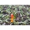 白芨组培瓶装苗_白芨所属品种均为紫花三叉大白芨