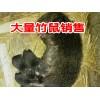 云南保山豪猪/竹鼠养殖基地*云南竹鼠/ 豪猪示范社