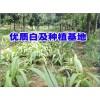 白芨鲜货种植基地_白芨种苗基地直销_白芨种植成本计算_云南白芨种苗销售公司