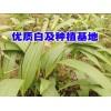 云南白芨苗培育重楼,白芨,黄精