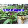 红河/大理白芨_白芨苗培育石斛/金线莲/黄精公司