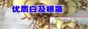 云南优质白芨(图片)