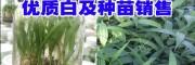 云南优质白及种苗(评价)