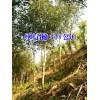 红叶石楠哪里最低价@5-8公分红叶石楠树多少钱?