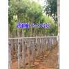 云南华山松6-20公分/红叶石楠(5-8公分)滇润楠销售价格