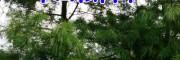 云南滇润楠树(图片)