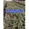 红河铁皮石斛价格表|云南铁皮石斛如何种植|铁皮石斛批发