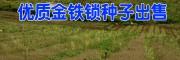 红河建水金铁锁种子报价