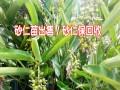 阳春砂仁苗\香砂苗供应商_景谷天羽中药材种植专业合作社