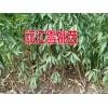 适合云南昭通种植的雪桃树苗#昭通雪桃树苗多少一棵?