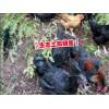 纯种乌骨鸡销售市场报价◆&大关悦乐镇土鸡养殖&纯乌骨鸡在昭通多少钱一斤
