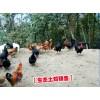 昭通土杂鸡市场价格◆云南土杂鸡市场价◆昭通土杂鸡养殖分布信息