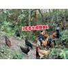 大关县土鸡养殖户@大关县哪里有土杂鸡/纯乌骨鸡出售