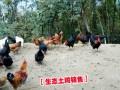 哪里有林下放养的土鸡%土鸡养殖户批发价格&最新土杂鸡