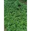 2016新产的草乌种子多少一斤&丽江大安乡草乌种子?