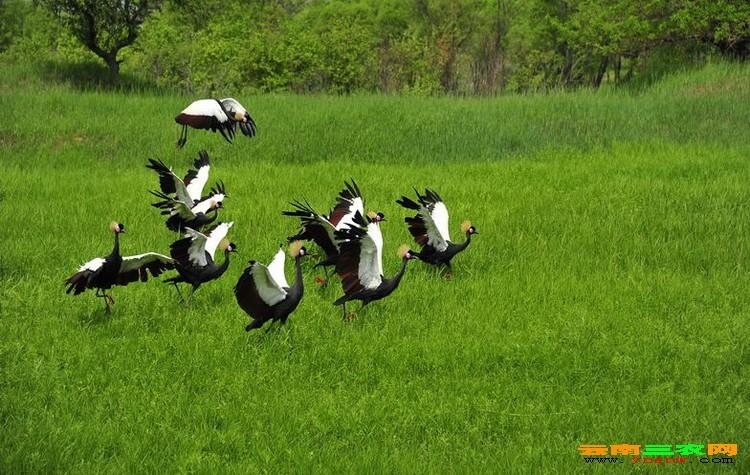 冠鹤的人工饲养计划,光照要求及免疫管理.