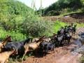 农村高脚羊养殖经济效益可观