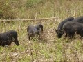 云南小耳猪|西双版纳小耳猪繁育基地