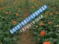2017云南非洲菊最低价格|云南/贵州非洲菊小苗销售厂家批发