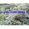 |云南文山山豆根多少钱一斤|文山种子供应商|文山/贵州山豆根