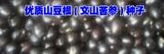 文山麻栗坡山豆根(文山苦参)