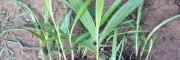 江川白芨组培苗、驯化苗、白芨种茎