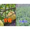 云南香橼树的价格|香橼小苗产地批发|最新香橼树的药用价值