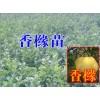 大理50-80公分香橼树苗批发|云南香橼树的价格|香橼小苗