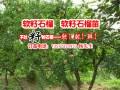 软籽石榴中的极品-大理软籽石榴苗种植技术