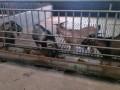 黔北麻羊的分群与孕羊的管理技巧