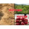 软籽石榴苗_大理剑川哪里有软籽石榴苗_软籽石榴苗供货商